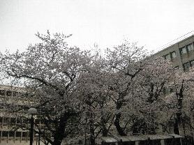 2009年度入学式桜咲く